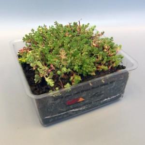 Sedum Roof Sample - Green Roof Trial Kit