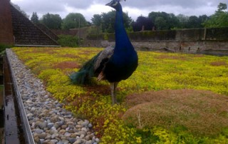 Verdico Green Roof Peacock